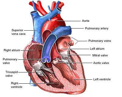 Kalp Kapakçıkları