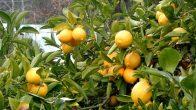 Cildinize Mucize Güzellik: Limon